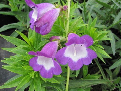Penstemon 'Pensham Czar' - 2 litre pot
