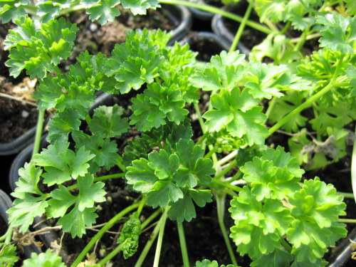 Parsley, Curled - 9cm pot