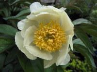 Paeonia lactiflora Starlight - 3 litre pot