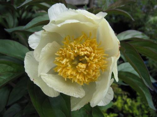 Paeonia lactiflora 'Starlight' - 3 litre pot