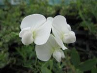 Lathyrus latifolius White Pearl - 9cm pot