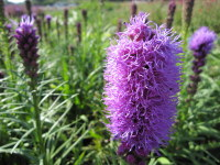 Liatris spicata Kobold - 2 litre pot