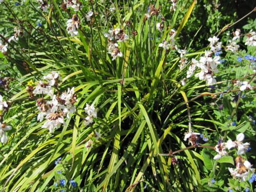 Libertia grandiflora - 9cm pot