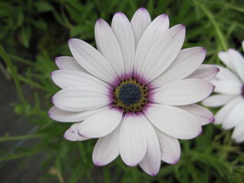 Osteospermum 'Lady Leitrim' - 9cm pot
