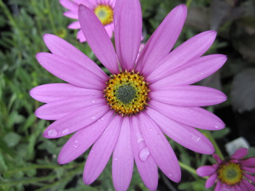 Osteospermum jucundum var. compactum - 9cm pot