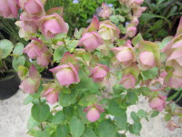 Origanum Kent Beauty - 9cm pot