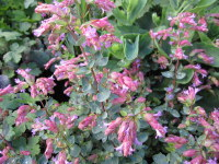 Origanum Bristol Cross - 9cm pot