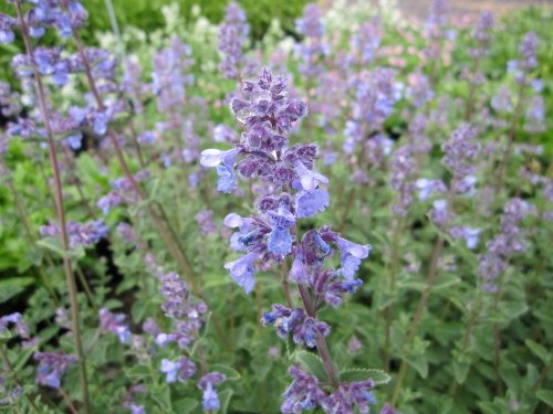 Nepeta 'Six Hills Giant' - 2 litre pot