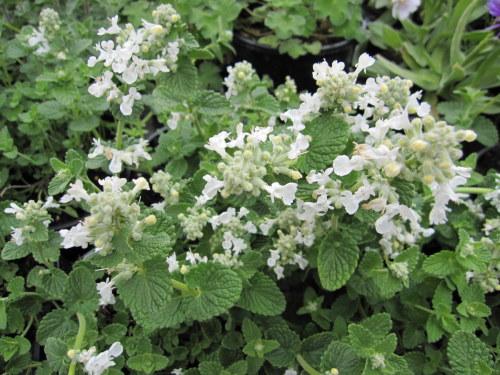 Nepeta racemosa 'Snowflake' - 2 litre pot