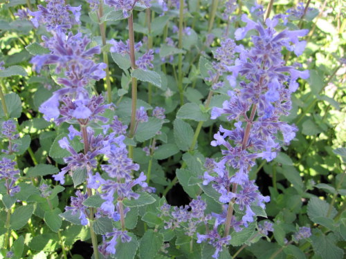 Nepeta grandiflora 'Summer Magic' - 2 litre pot