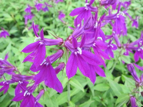 Lobelia x speciosa 'Hadspen Purple' - 9cm pot