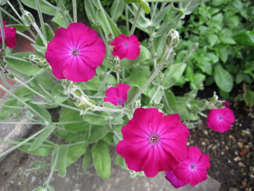 Lychnis coronaria Atrosanguinea Group - 9cm pot