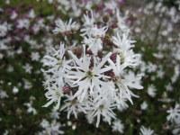 Lychnis flos-cuculi White Robin - 9cm pot