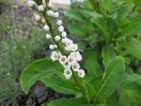 Lysimachia Candela - 2 litre pot