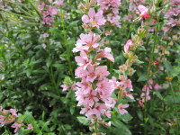 Lythrum salicaria Blush - 9cm pot