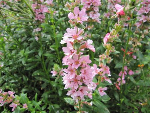 Lythrum salicaria 'Blush' - 2 litre pot