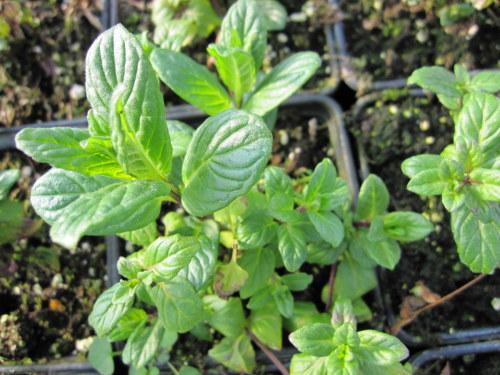Mint, Garden - 9cm pot