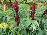 Melianthus major - 9cm pot