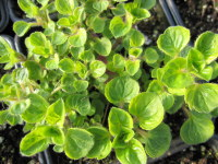 Marjoram, Golden - 9cm pot