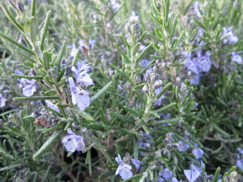 Rosemary, Common - 9cm pot