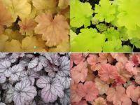 Heuchera Collection 9cm - 3 plants