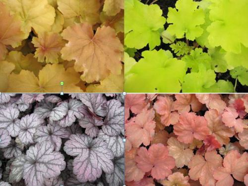 9cm Heuchera Collection - 3 plants