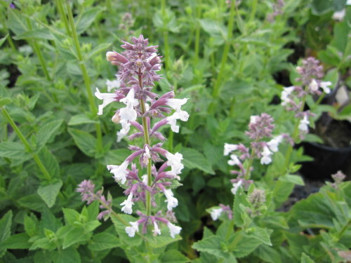 Nepeta grandiflora 'Dawn to Dusk' - 2 litre pot
