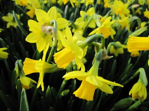 Narcissus 'Tête-à-Tête' - 9cm pot