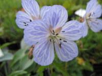 Geranium pratense Mrs Kendall Clark - 2 litre pot