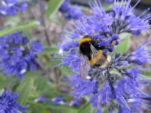 bee on caryopteris