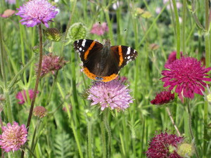 butterfly on knautia