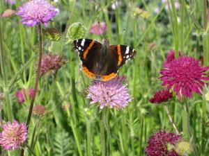 butterfly on knautia