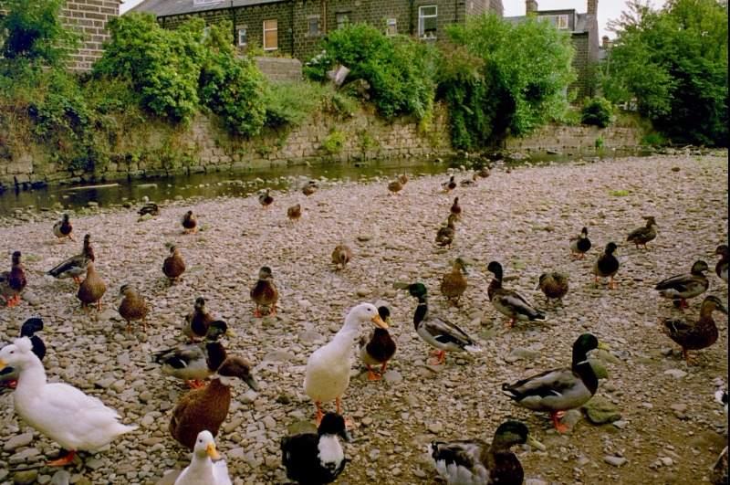 homeslide_ducks