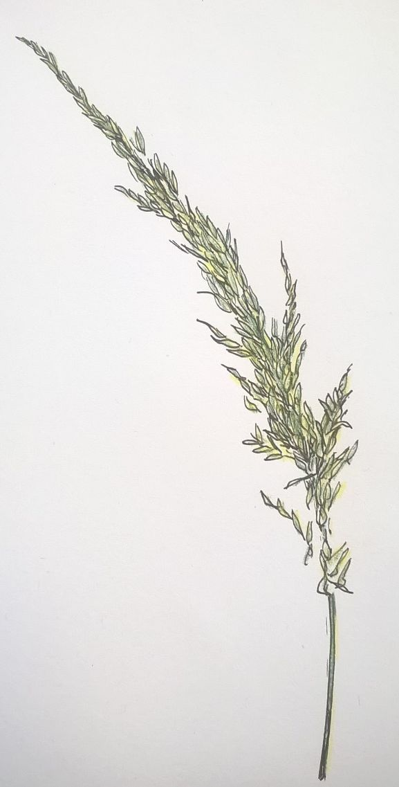 botanical grass