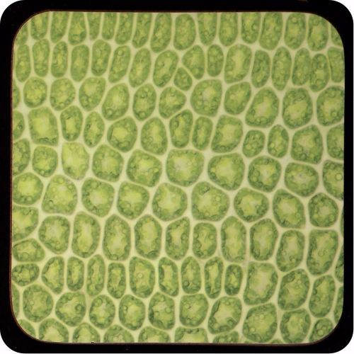 <!-- 00115 -->MOSS LEAF BY BRIGHTFIELD MICROSCOPY Coaster (C28)