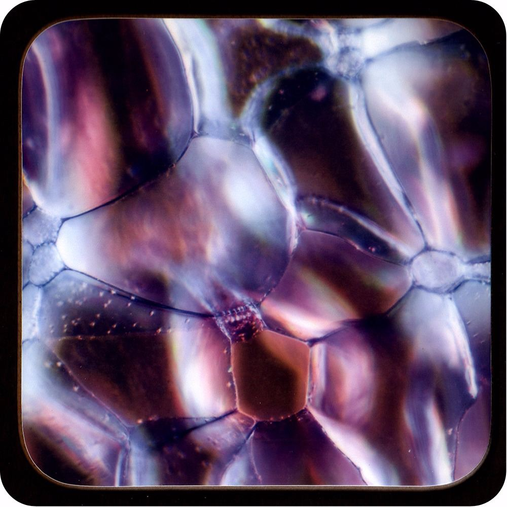 <!-- 00205 -->ROSE STEM SECTION (DARKFIELD MICROSCOPY) COASTER (C14)
