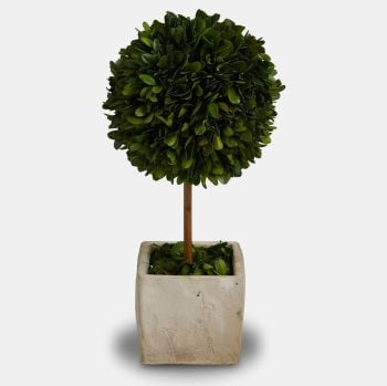 Preserved Boxwood Sculpted Topiary Tree with Pot - 32 cm