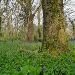 martins_wood_bluebells1