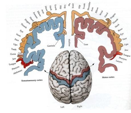 Himunculus Brain Pic