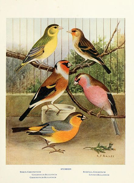 Canaries, Hybrids And British Birds In Cage And Aviary, 1910.