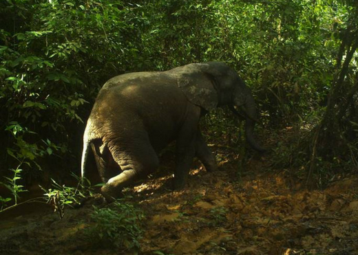 Forest elephants captured via camera traps in Sapo National Park. Credit: FFI/FDA.