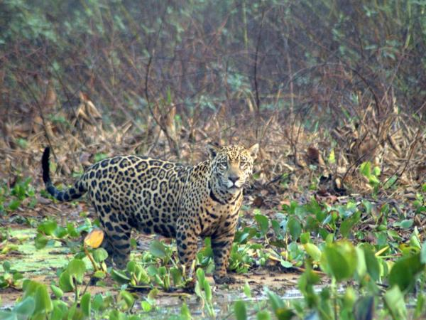 Responsible Travel list a number of wildlife holidays in Brazil