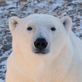 Adopt a polar bear from Born Free today