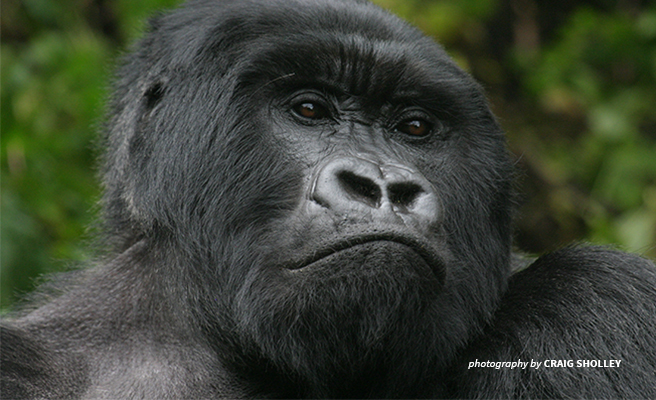 The Mountain Gorilla needs more habitat to thrive