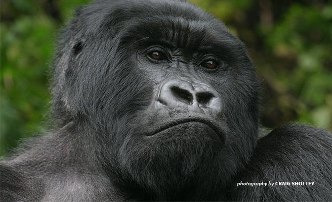 The Mountain Gorilla needs more habitat to thrive