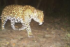 The protected area is vital jaguar habitat