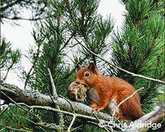 Help red squirrels