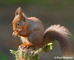 You can donate here to the Red Return appeal and help red squirrels