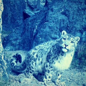 You could also adopt a snow leopard to help the Snow Leopard Trust