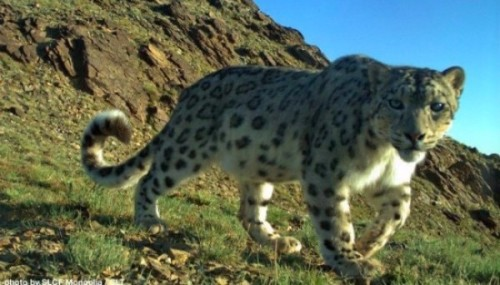 Snow leopard supporters make a difference